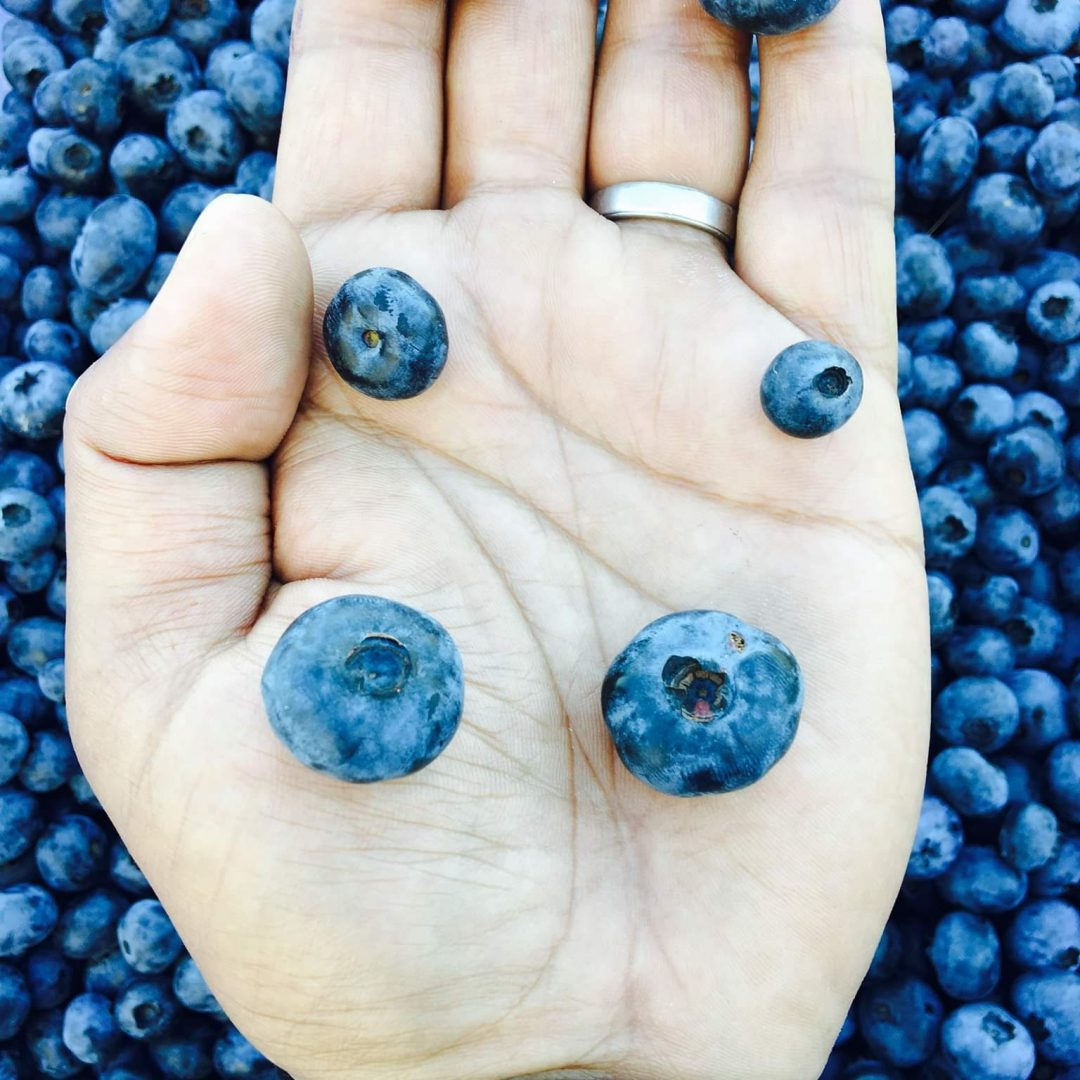 Certified Organic Sweet Variety Ancient Blueberries